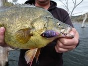 REA993 Purple Night lure was a standout on a recent trip, and caught a Golden Perch!
